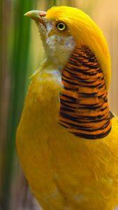 pajaratito amarillo