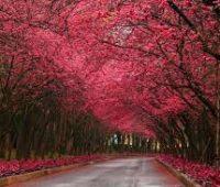 Imágenes de paisajes de cerezos