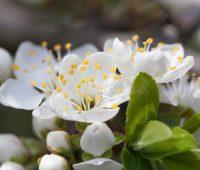 Imágenes de paisajes de manzano en flor