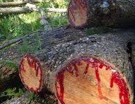Troncos del árbol de la sangre del dragón