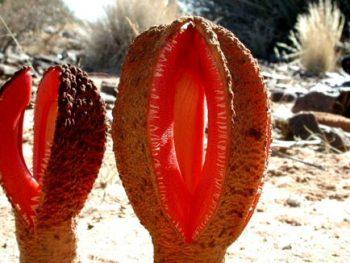 Hydnora africana es una planta carnívora