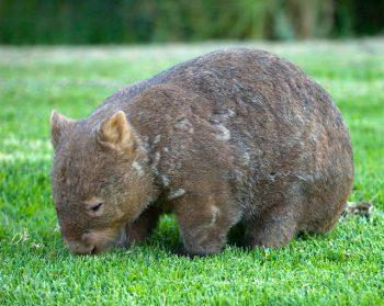 Wombat de nariz peluda